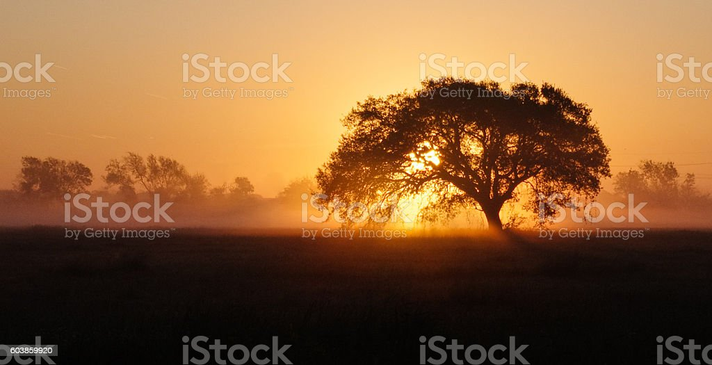 Coastal Sunrise through Oak and Fog stock photo