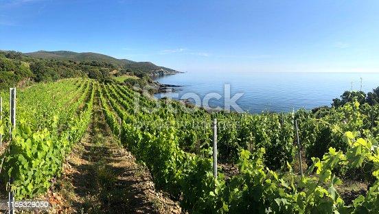 Coastal vineyard. Cap Corso, Corsica, France.