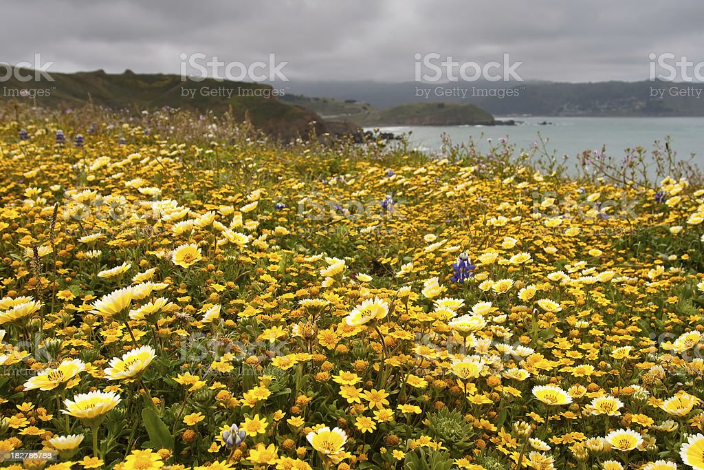 Coastal Wildflowers royalty-free stock photo