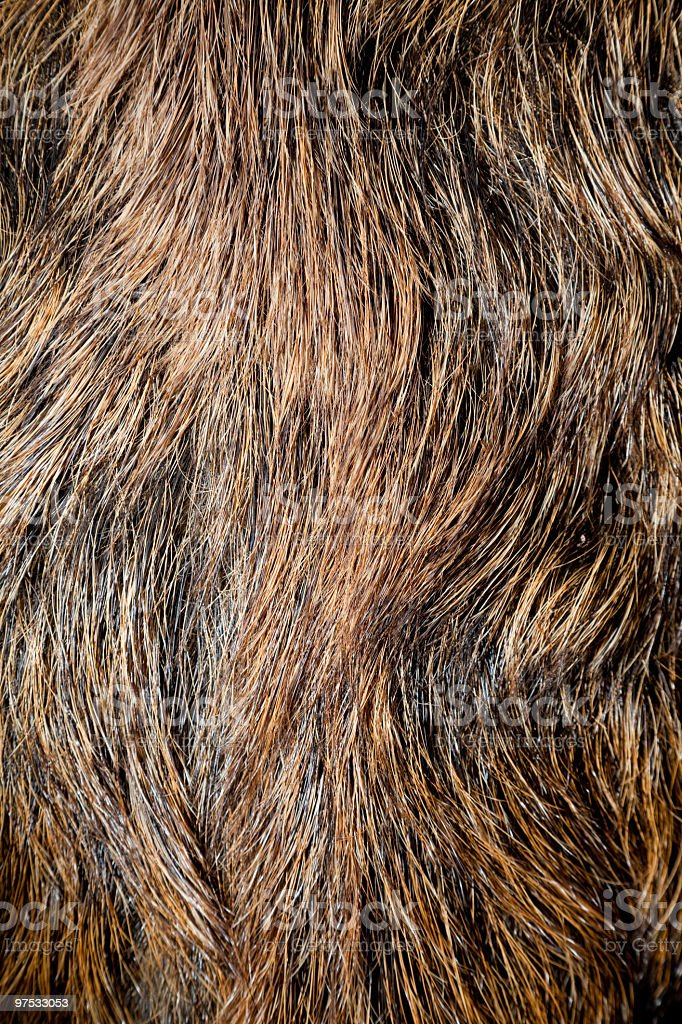 Coat of a Wild boar Sus scrofa royalty-free stock photo
