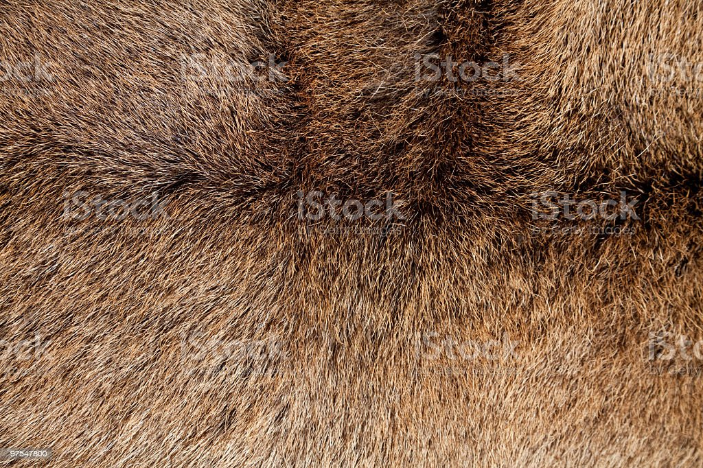 Manteau de Red Deer Cervus elaphus. photo libre de droits