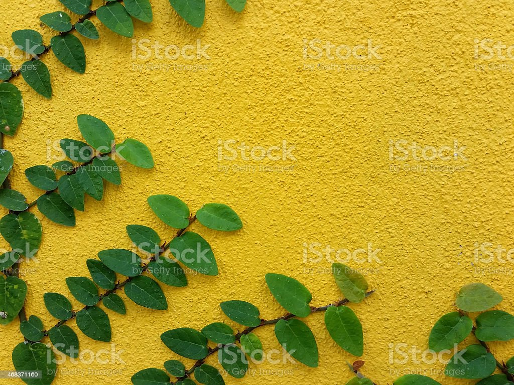 Coatbuttons Mexican daisy plant on yellow wall stock photo