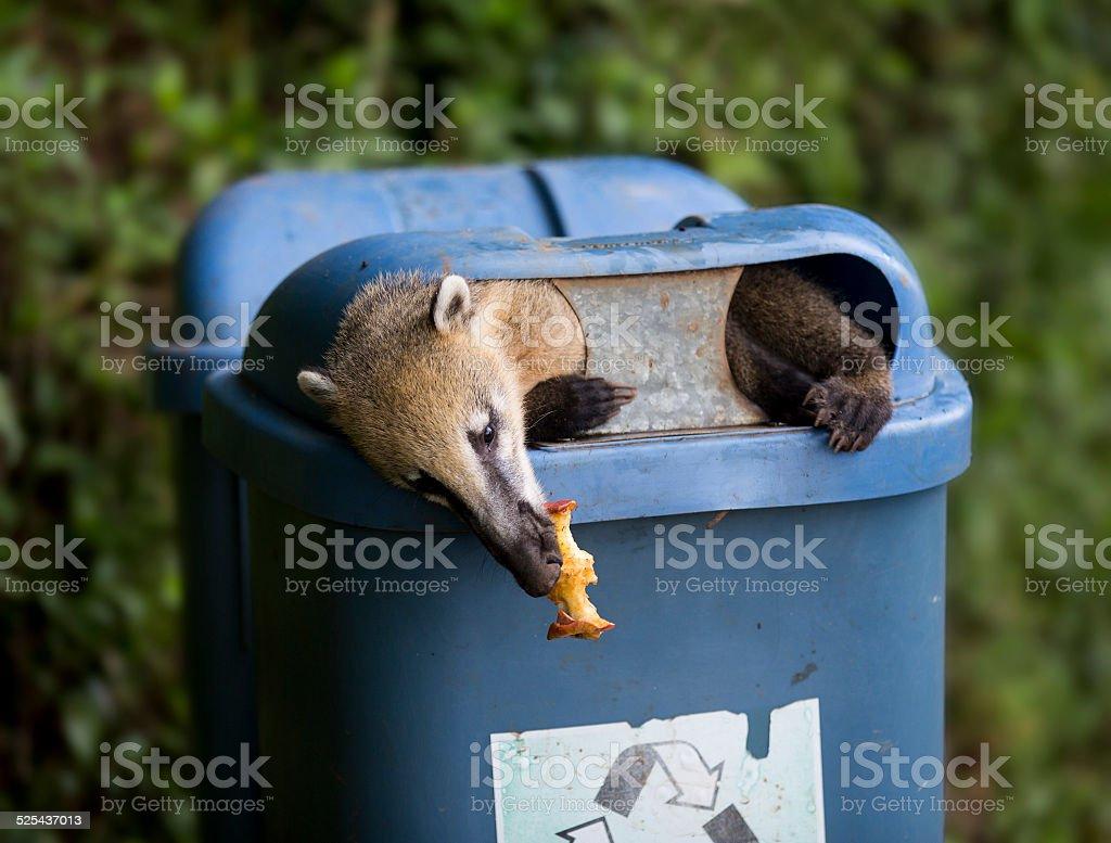 Coati finding an apple core in a garbage bin. stock photo