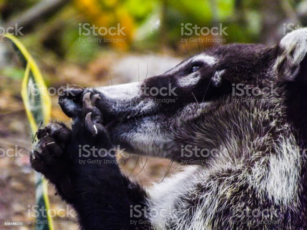 Coati Mundi - Costa Rica stock photo