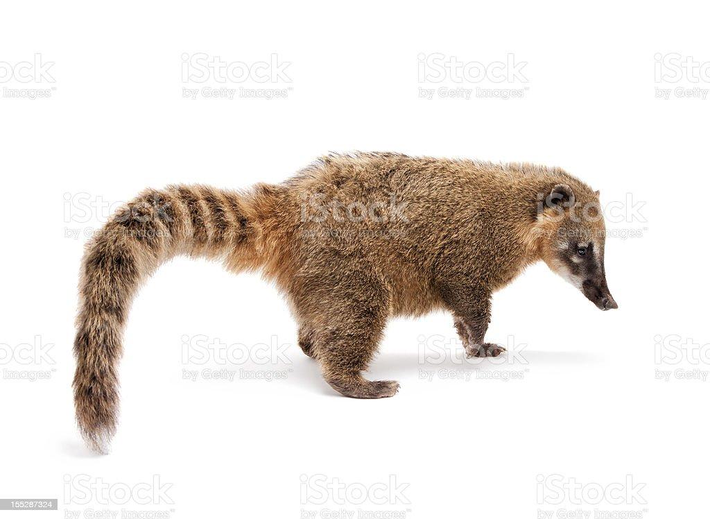 Coati mundi stock photo