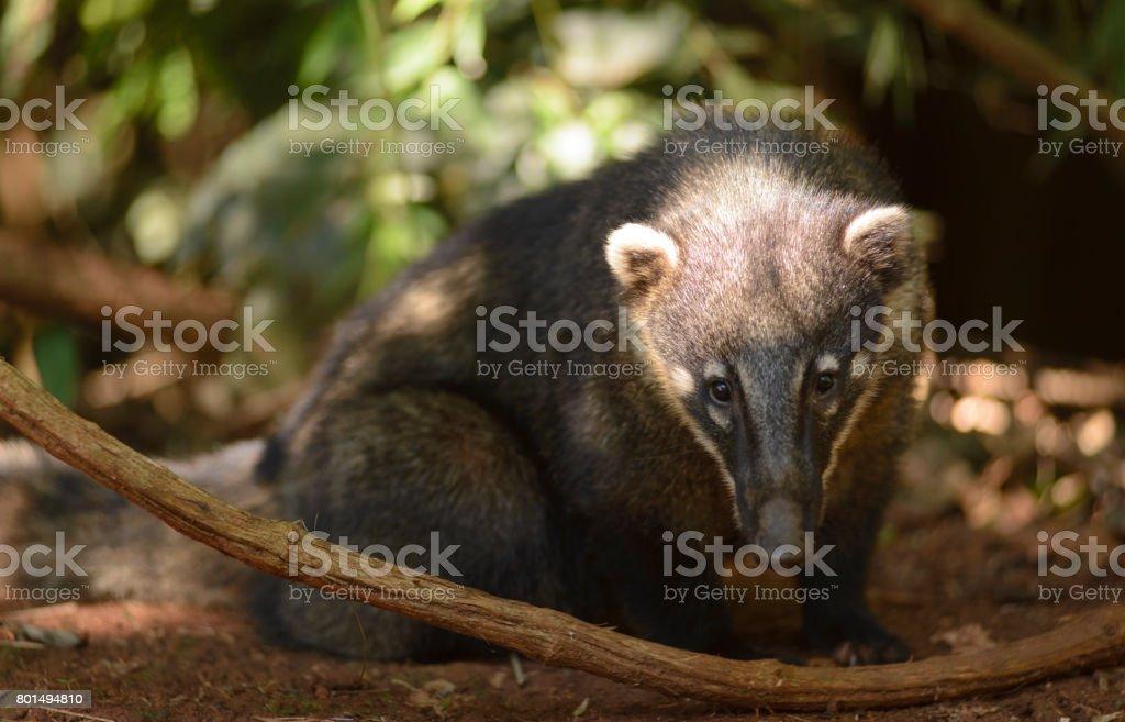 Coati - Nasua stock photo