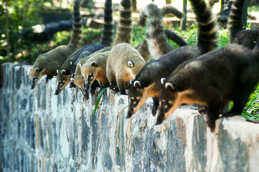 Coati (quati) hanging out on a wall in Iguaçu Fall National Park, Brazil.