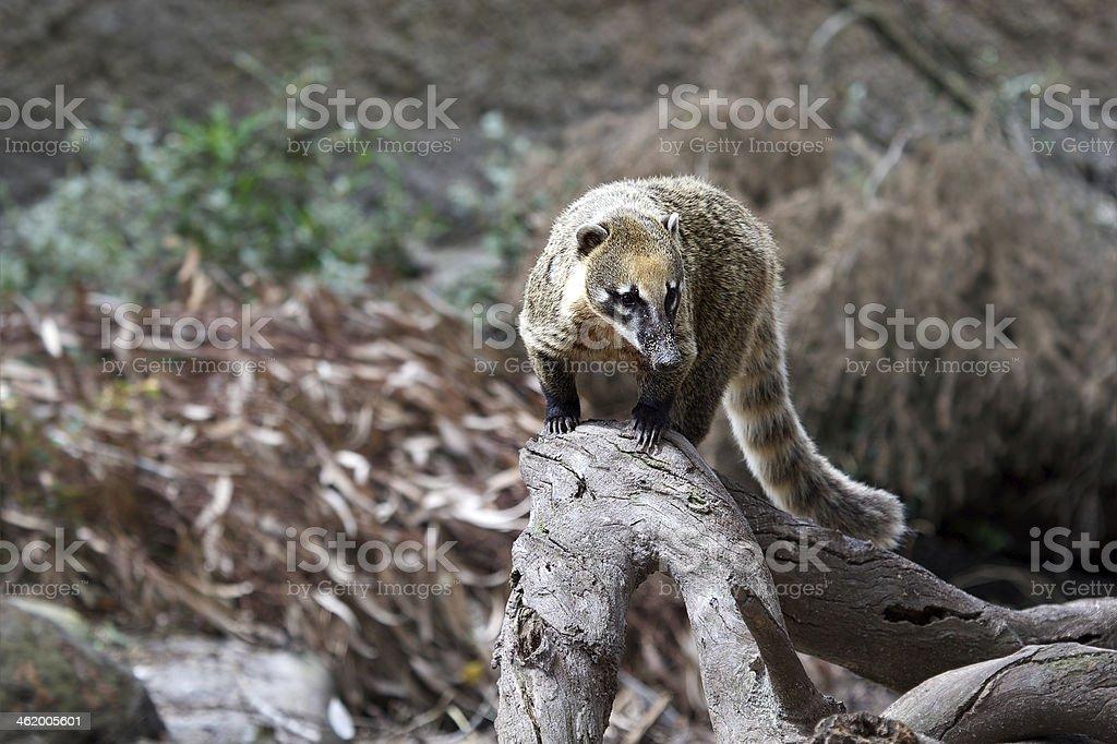 Coati stock photo