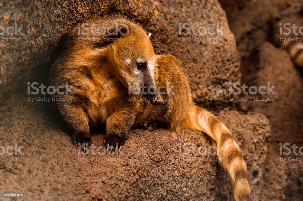coati racoon in the zoo stock photo