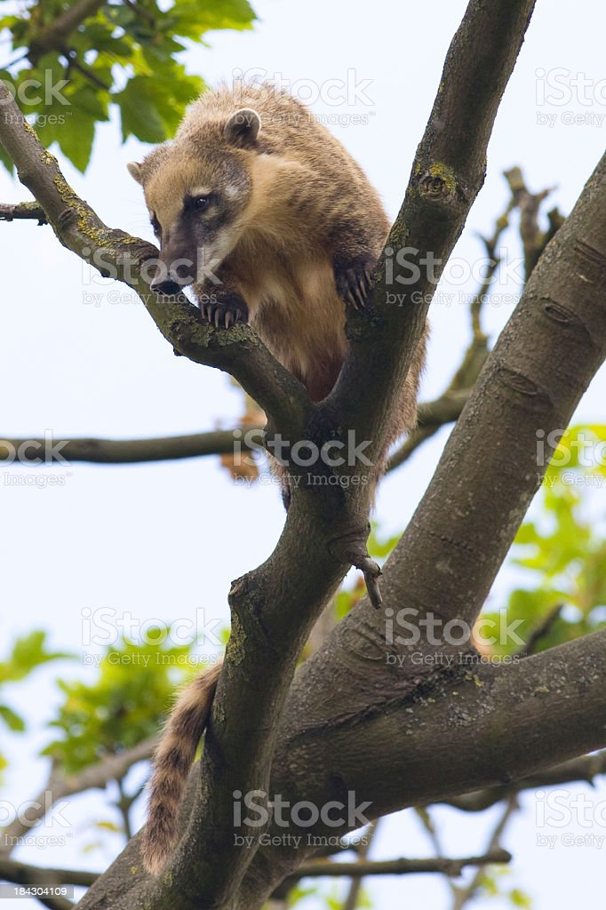 Coati up a tree royalty-free stock photo