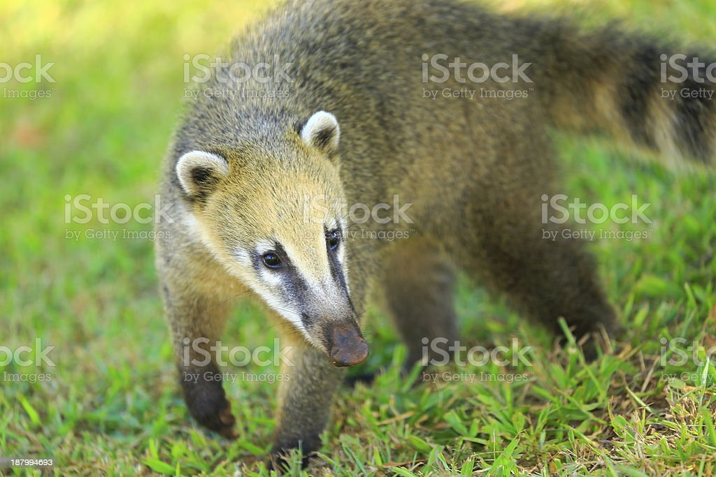 Coati walking in Iguacu National Park - Brazil / Argentina, America stock photo
