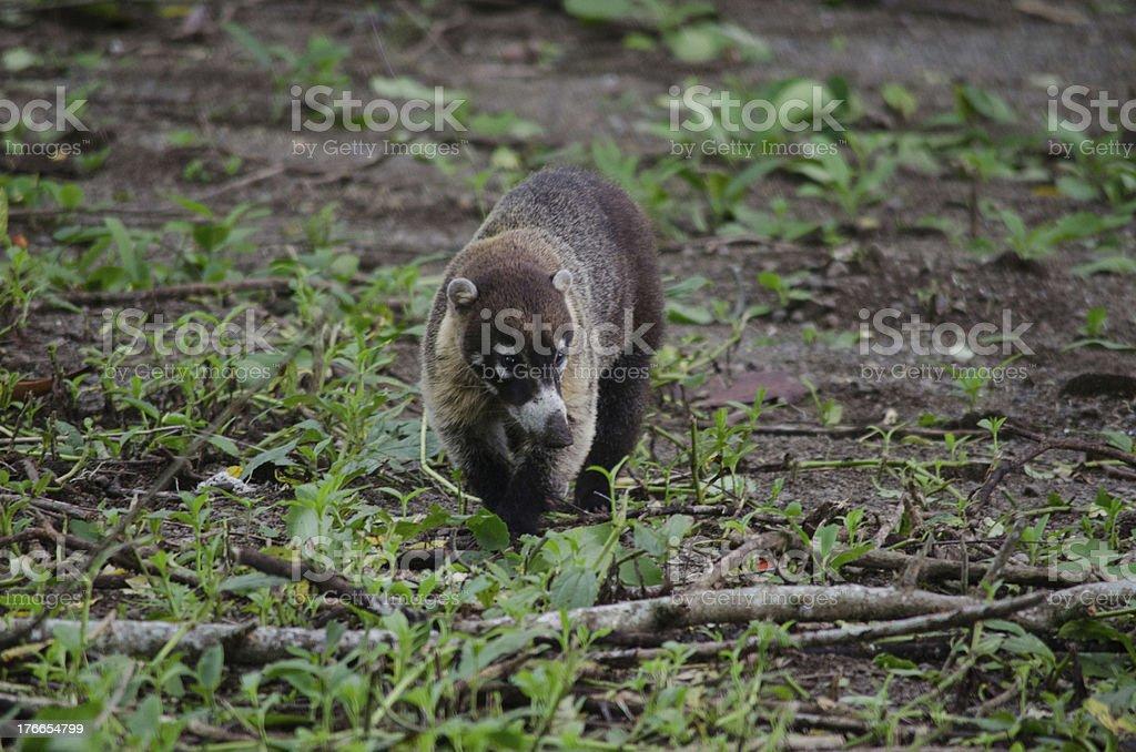 Coatimundi pizote walking through rainforest jungles of costa rica royalty-free stock photo