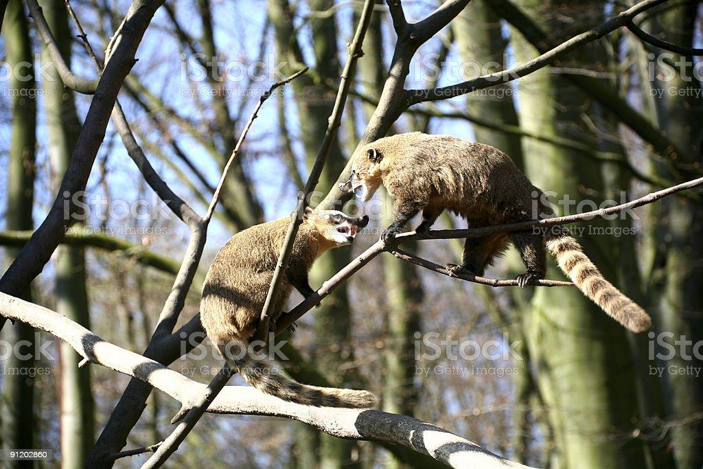 Coatis fighting stock photo