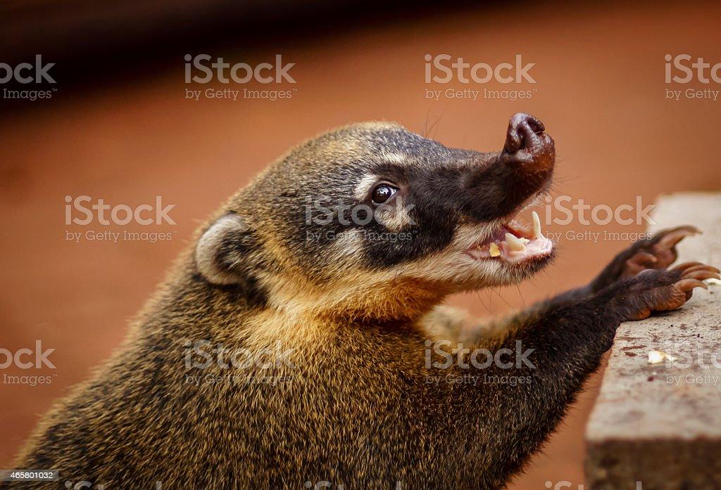 Coatis stock photo