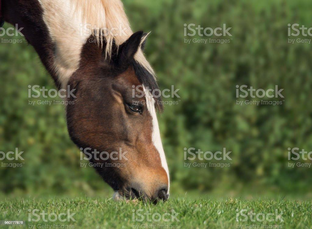 Cob horse grazing in a field. stock photo