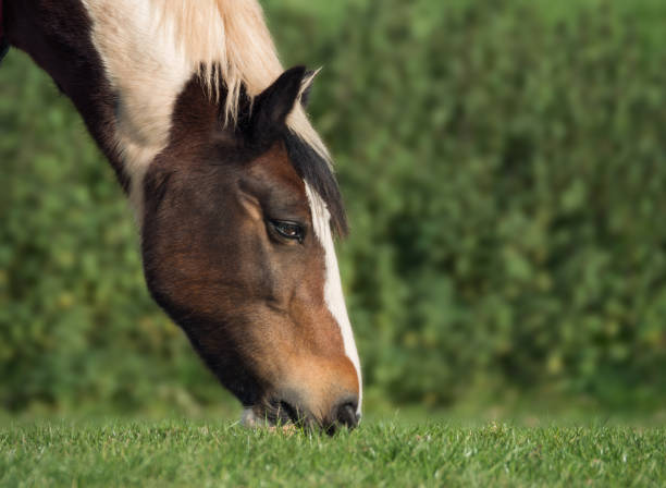 Cob horse grazing in a field. stock photo