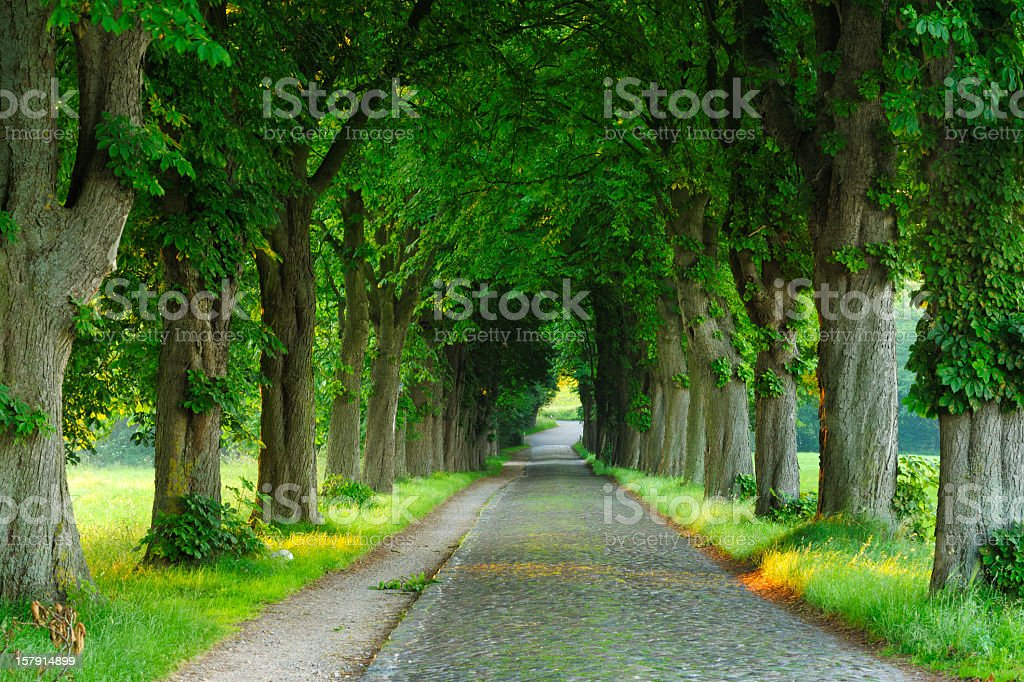 Cobblestone Road with Chestnut Trees on Both Sides stock photo