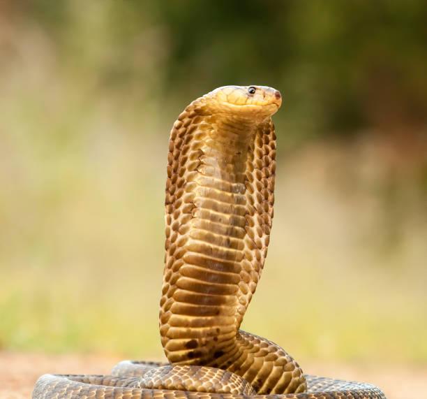 Cobra close-up Stock Photo stock photo