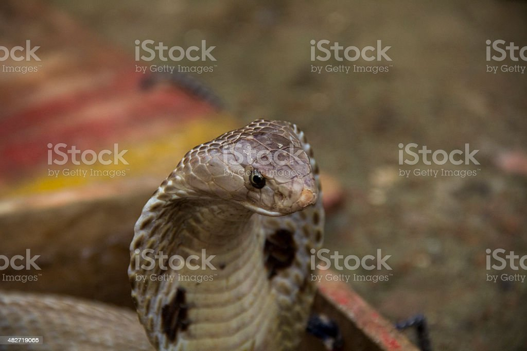 Cobra hood stock photo