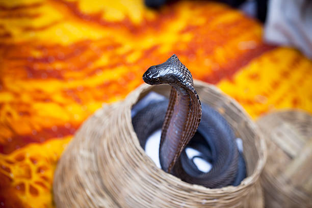 cobra in basket, india - charming stock photos and pictures