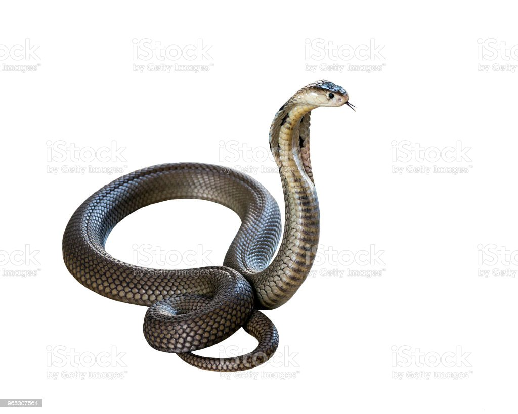 Cobra isolate on white background. royalty-free stock photo