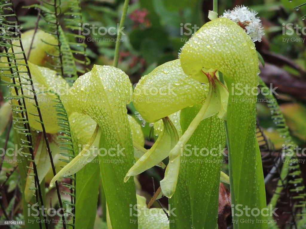 Cobra Lilies - Royalty-free 2015 Stock Photo