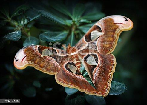 istock Cobra moth butterfly 172913580