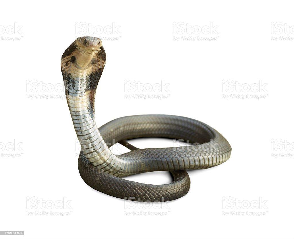 Cobra royalty-free stock photo