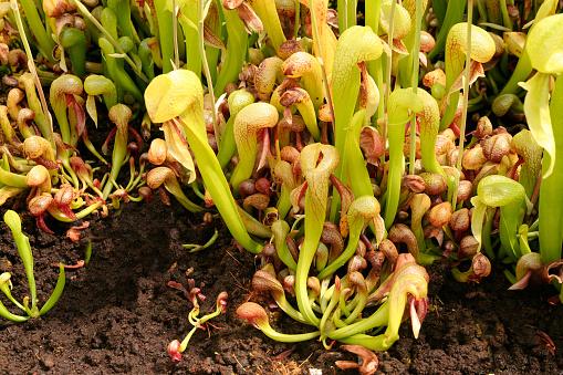 Cobra Plant - Darlintonia californica