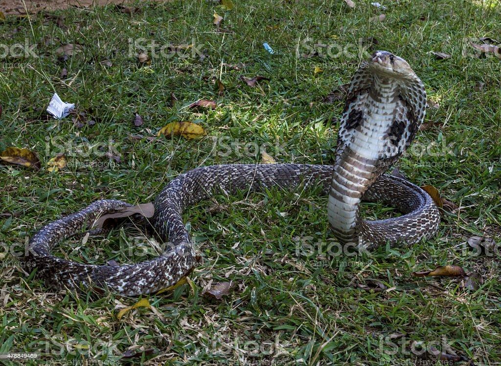 Cobra Snake 2 stock photo