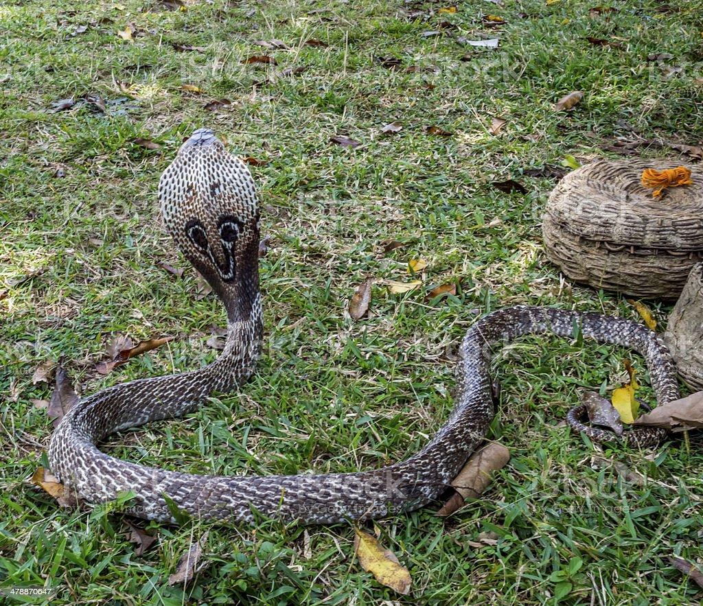 Cobra Snake hood stock photo