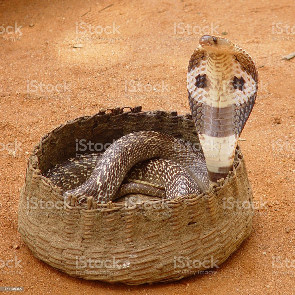 Cobra Snake in basket royalty-free stock photo