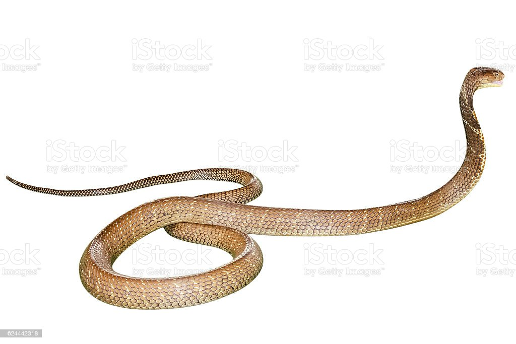 Cobra Snake isolated stock photo