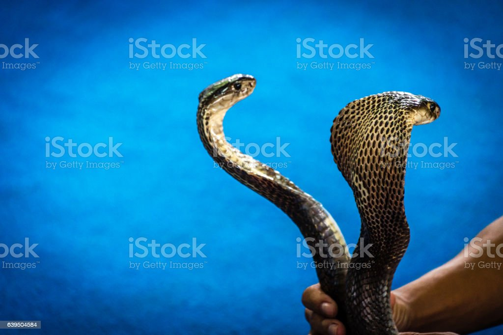 Cobra snakes stock photo