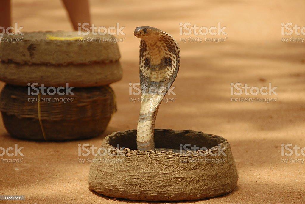 Cobra Standing royalty-free stock photo