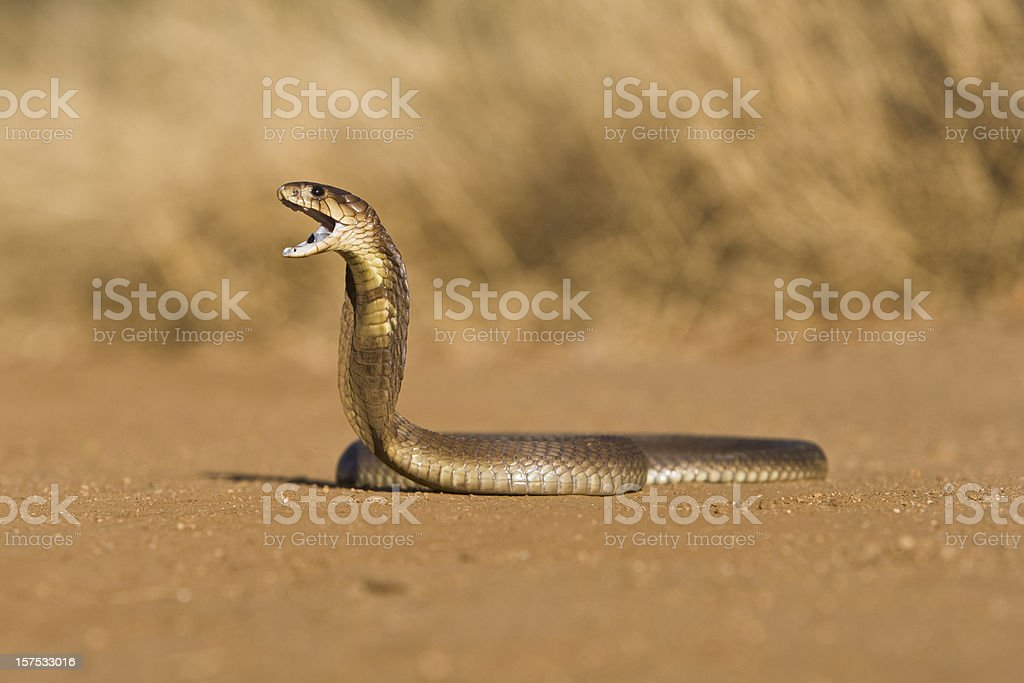Cobra threat display royalty-free stock photo