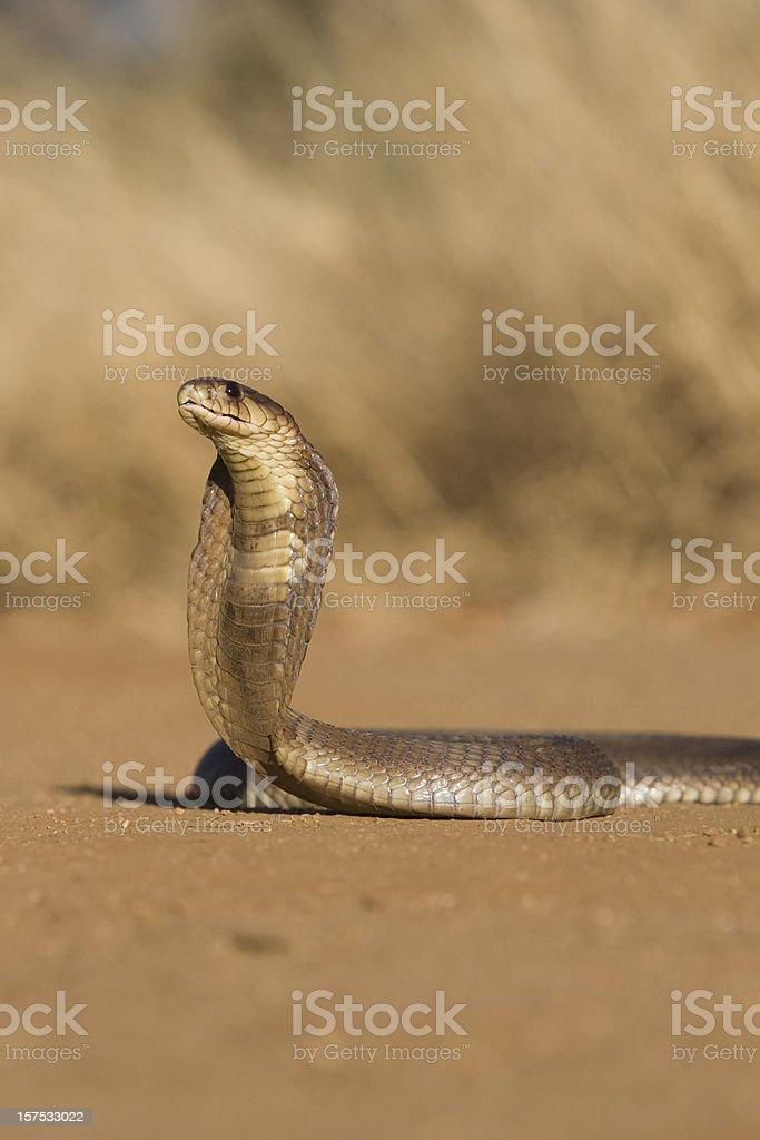 Cobra with threatening hood stock photo
