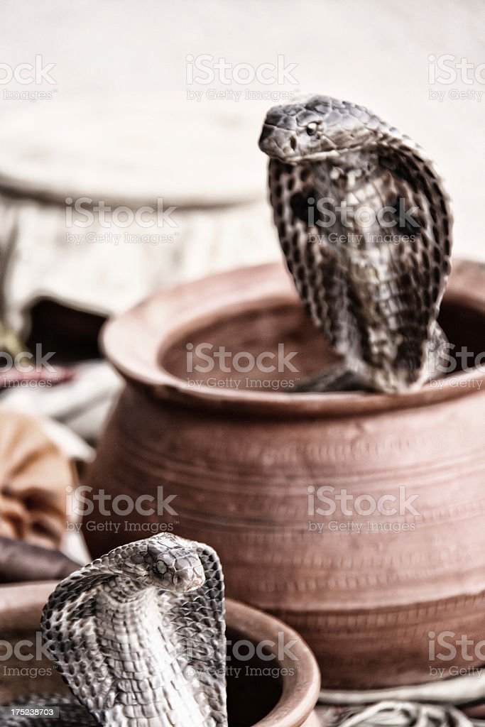 Cobras royalty-free stock photo
