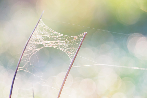 Cobweb and spider between stems of grass with blurred dewdrops at sunrise. Macro shot.