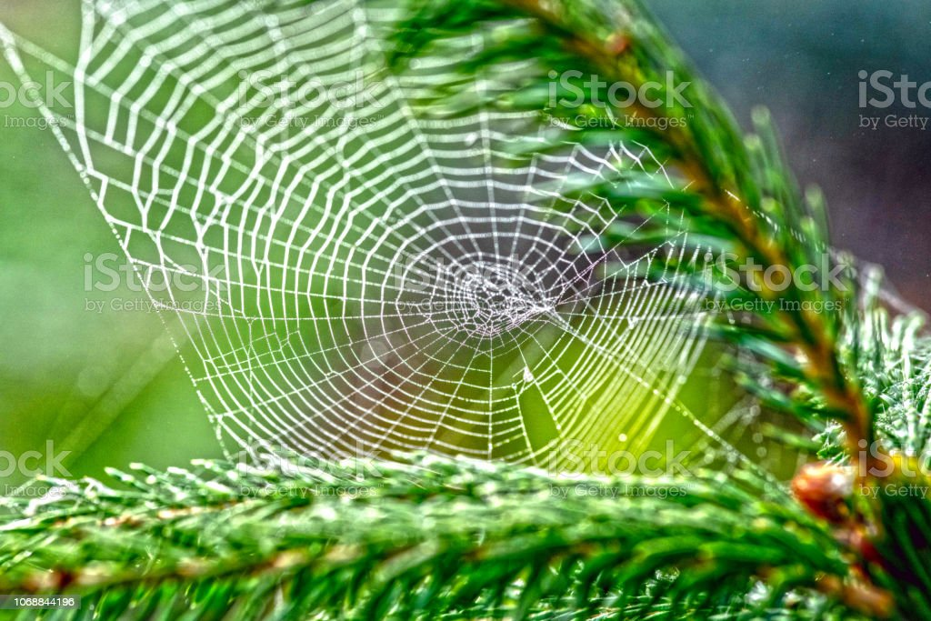 Cobweb in an English Garden covered in dew stock photo