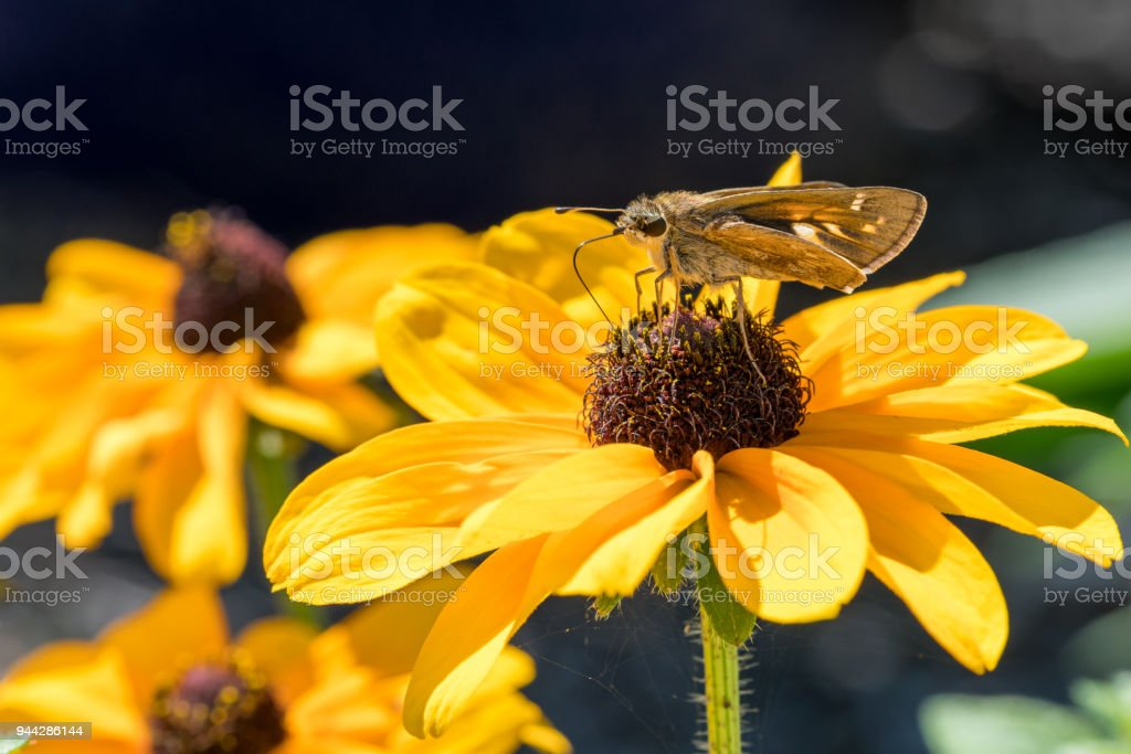 Cobweb Skipper Butterfly Drinking Nectar from a Black Eyed Susan stock photo