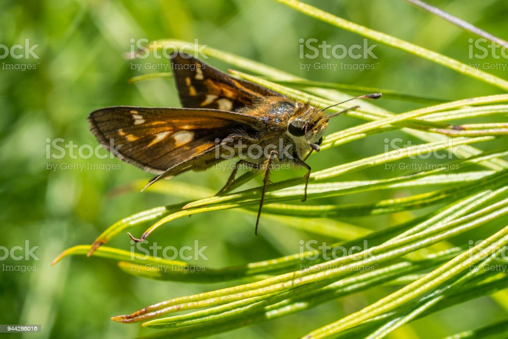 Cobweb Skipper Butterfly resting atop blades of grasses stock photo