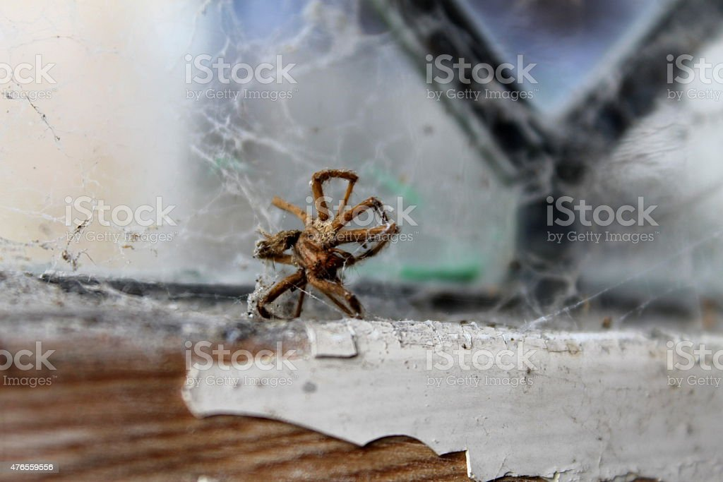 Cobwebs and Dead Spider in timber wooden shed / outbuilding stock photo