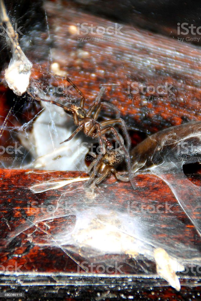 Cobwebs and Live Spiders in timber wooden shed / outbuilding stock photo