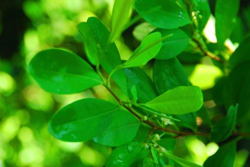 coca leaves - coca tree, Erythroxylum coca - photo by M.Torres