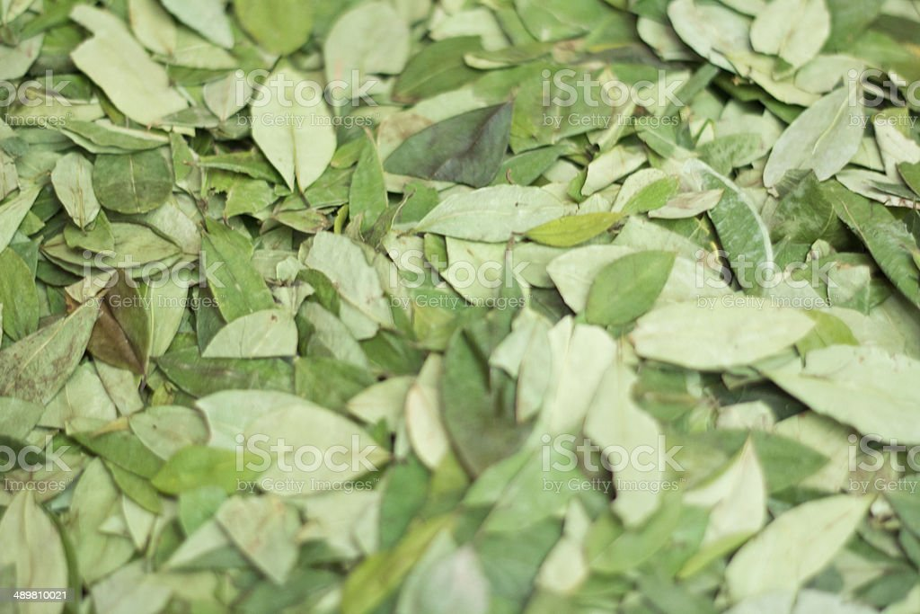 Coca leaves stock photo