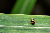 Coccinella transversalis Fabricius , commonly known as the transverse ladybird , India