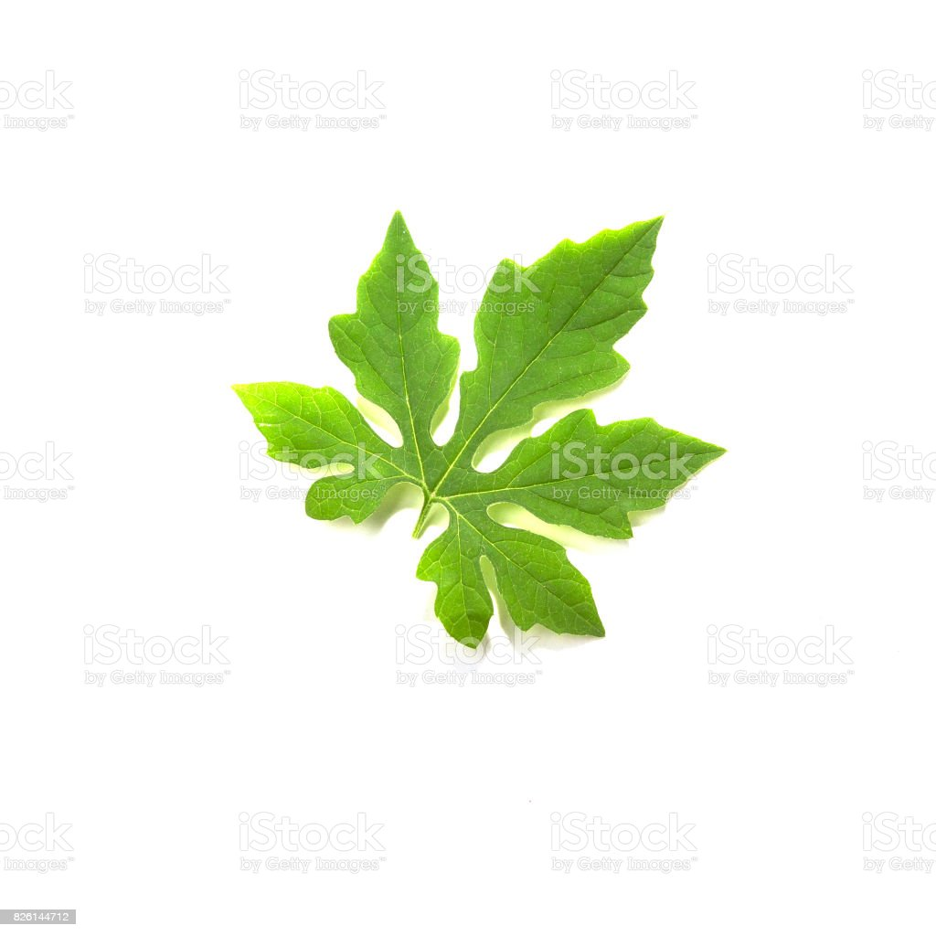 Coccinia grandis leaves  on a white background stock photo