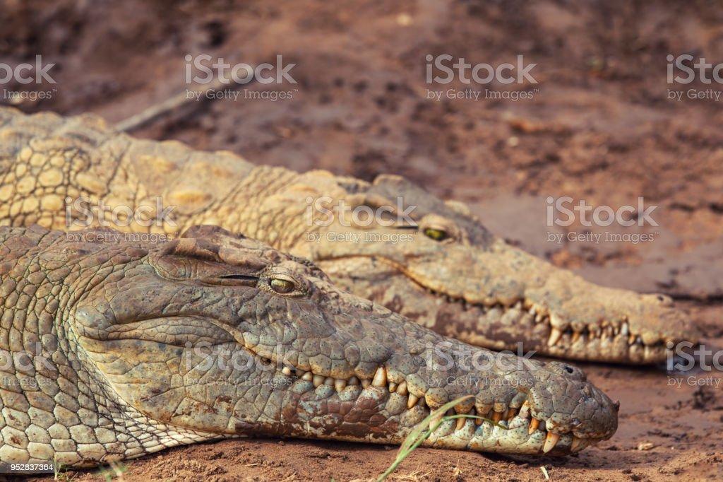 Coccodrilli stock photo