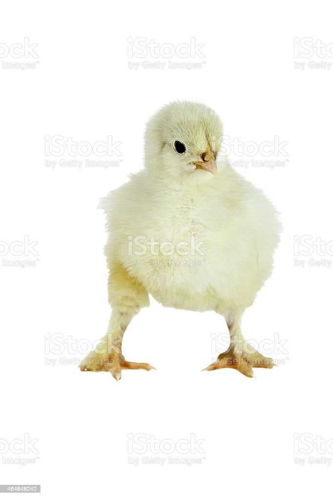 Cochin Chick stock photo